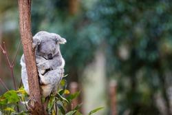 An Australian Koala bear sleeping in the gum trees.