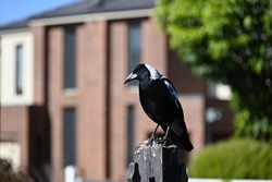 An Australian magpie, its talons illuminated by the sun, facing left while atop a dirty and worn fence post, in front of houses and trees on a suburban street