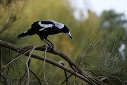 An Australian Magpie perched on a tree branch looking down, the detail on its talons clearly visible