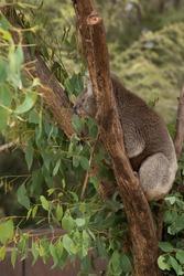 An Australian native Koala eating eucalyptus leaves from a tree