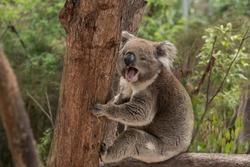 An Australian native Koala sitting in a tree yawning widely
