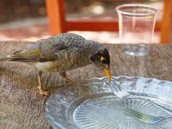 An Australian native  Noisy Miner bird up close on a table.