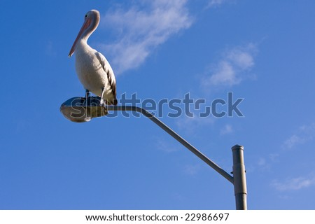 An Australian pelican perched on a lamppost