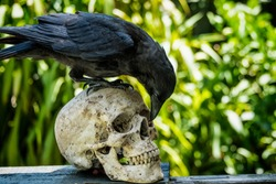 An Australian Raven (crow) on perched on a human skull