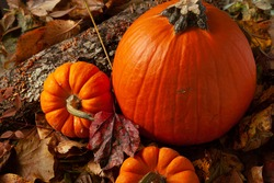 An autumn composition with three pumpkins on forest floor covered with fallen  leaves and tree bark with mushroom growing on. An ideal image for fall, halloween, thanksgiving, holiday themes.