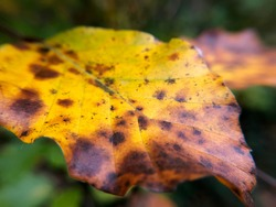 An autumn leaf that started to degrade, close-up look
