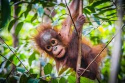 An baby orangutan hangs in a tree in Borneo