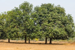 An couple of Indian tree mahuwa close view in a rural field looking awesome.