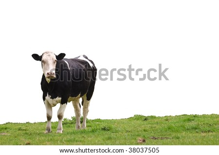 an cow standing on lush green grass looking ahead, isolated for ease of use