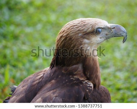 An eagle bird (burung elang) isolated focus on head part with blur background Stock foto ©