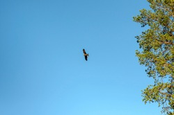 An eagle flies in the blue sky. The eagle's low-flying flight against the blue sky. An eagle, a hawk, a vulture looking for prey. Flying birds of prey during hunting