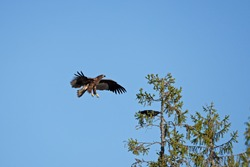 An eagle landing on the branch. King of the birds in the wildlife. European nature.