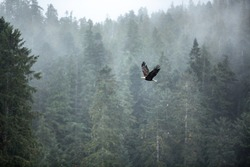 An eagle soars through the fog and the misty trees