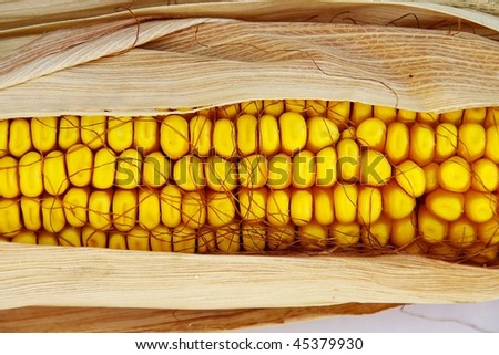 An ear of corn, with the husks still on, but peeled back - stock photo