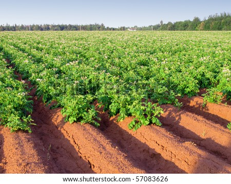 An early morning view of a potato farm in rural Prince Edward Island, Canada with rows of potatoes in full flower.