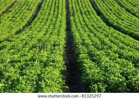 An early morning view of potato field planted in a seven row configuration