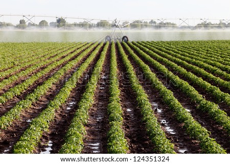 An early morning view of rows of plants in a potato field.