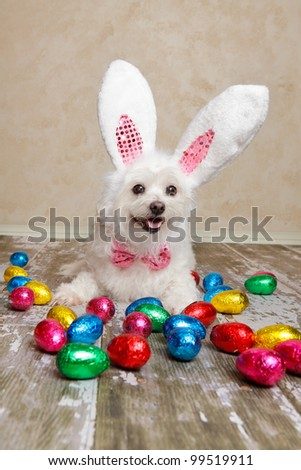 An easter bunny dog surrounded by various colourful foil wrapped chocolate easter eggs. - stock photo