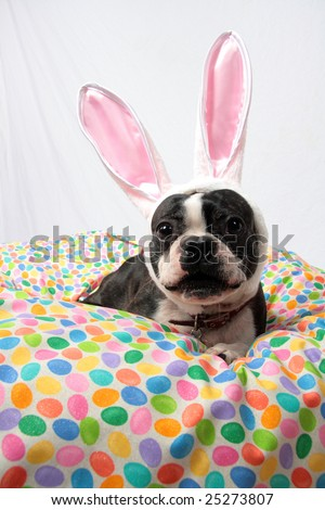 An Easter photo of a Boston Terrier.