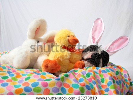 An Easter photo of a Boston Terrier with bunny and chick stuffed animals.