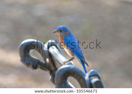 An Eastern Bluebird (Sialia sialis).