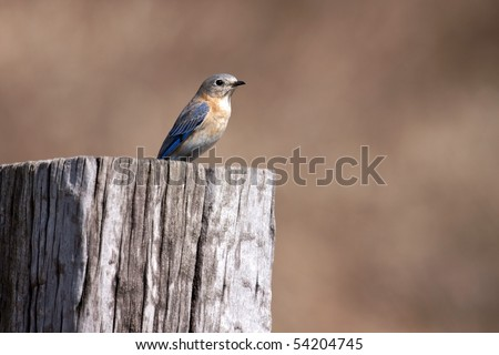 An Eastern Bluebird (sialia sialis) perched on a rural fence post.