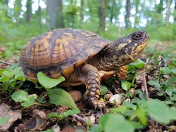 An Eastern box turtle checking it's surroundings.