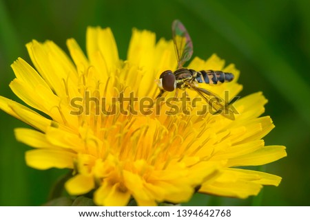 An Eastern Calligrapher Hoverfly is collecting nectar from an early spring Dandelion. Mississauga, Ontario, Canada. #1394642768
