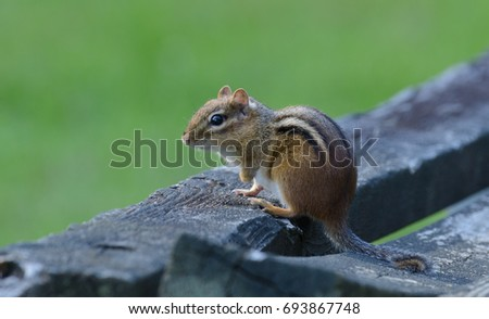 Shutterstock An Eastern Chipmunk (Tamias striatus), a small omnivorous rodent, sitting on a weathered wood bench in Andover, Sussex County, New Jersey.