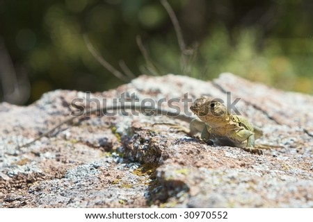 An Eastern Collared Lizard sunning himself on a rock - CROTAPHYTUS COLLARIS (http://www.artistovision.com/animals/collared-lizard.html).
