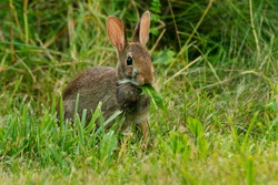 An Eastern Cottontail is standing in the grass eating a leaf. Todmorden Mills Park, Toronto, Ontario, Canada.