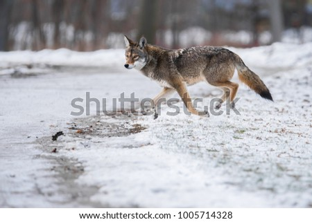 "An Eastern Coyote, sometimes colloquially referred to as a ""coywolf"", runs through Toronto's Colonel Samuel Smith Park.  Eastern Coyotes crossbred with wolves and domestic dogs many generations ago."