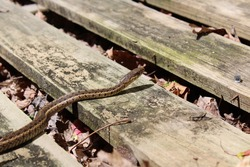 An Eastern Garter Snake in the Sun