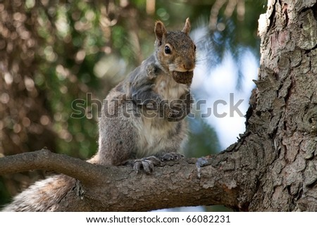 An eastern gray squirrel (Sciurus carolinensis) up a tree with a nut in its mouth.