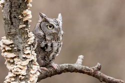 An eastern grey screechowl perched in a tree