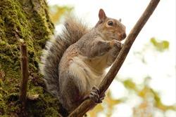 An Eastern Grey Squirrel (Sciurus carolinensis) sitting in a tree,
