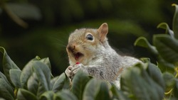 An Eastern Grey Squirrel (Sciurus carolinensis) with its mouth open, eating a berry.