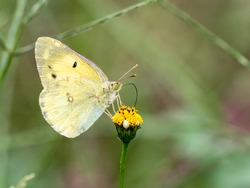An eastern pale clouded yellow butterfly, Colias erate or recently updated to Colias poliographus, feeds from a small yellow flower.
