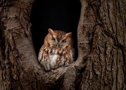 An eastern screech owl portrait
