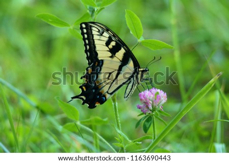 An Eastern Swallowtail Butterfly on a clover flower, in a meadow of Cades Cove, Smoky Mountains, Tennessee.  This picture captures a side view of this butterfly.