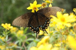 An Eastern Tiger Swallowtail butterfly (dark morph)  getting nectar from a yellow Tickseed flower in a field of flowers.