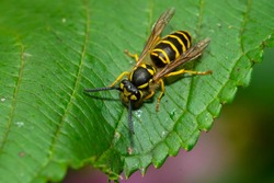 An Eastern Yellowjacket is resting on a green leaf. Taylor Creek Park, Toronto, Ontario, Canada.