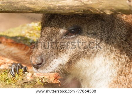 An eating parma wallaby in a dutch zoo