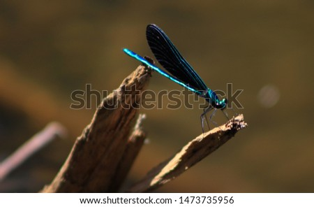 An Ebony Jewelwinged dragonfly resting on a log.