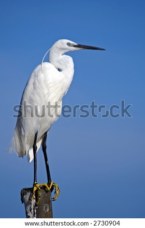 An egret, picture taken in Uganda at the borders of Lake Victoria.