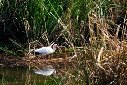 An egret stalks the wetland at Meaher State Park in Alabama, USA., on Oct. 26, 2020.