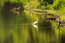 An Egret Wades in a Shallow Swamp Looking for Food on a Summer Morning.