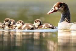 An Egyptian goose family swimming in a little pond in Cologne, Germany at a sunny day in summer.