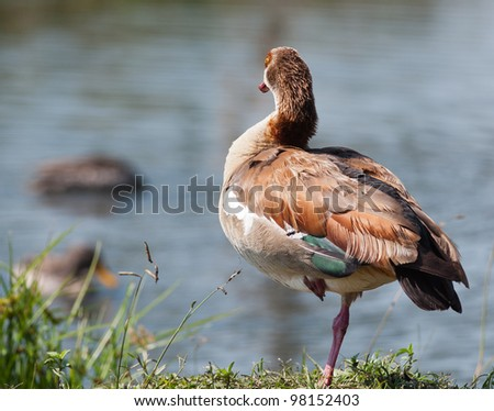An Egyptian Goose looks towards the dam while standing on one leg