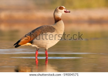 An Egyptian goose standing in shallow water